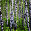 Aspen Forest near Penza, Russia