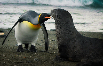 King Penguin and Young Antarctic Fur Seal