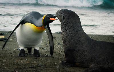 King Penguin and Young Antarctic Fur Seal