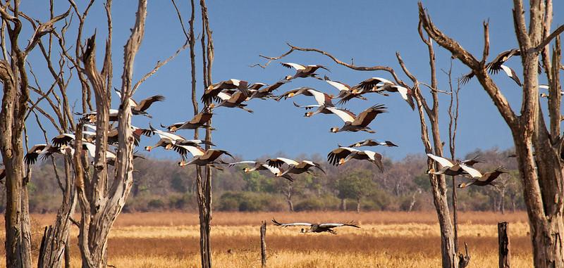 Golden Crowned Cranes